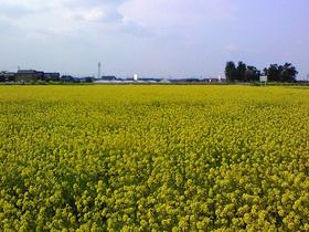松任CCZの菜の花畑